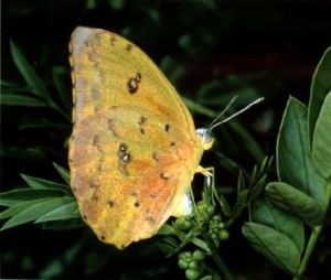 orange-barred sulfur butterfly