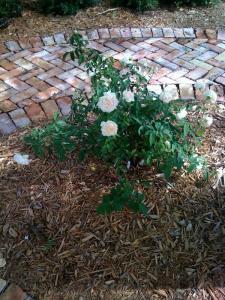 4.1 roses - madame schwartz