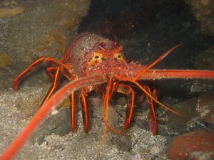 Spiny Lobster %22California spiny lobster%22. Licensed under CC BY-SA 2.5 via Wikimedia Commons - https-::commons.wikimedia.org:wiki:File-California_spiny_lobster.JPG#:media:File-California_spiny_lobster